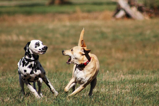 Sibling Aggression Is Very Fixable with our DC Dog Training Programs!